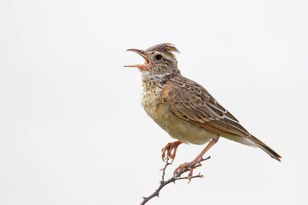 africana: Close-up of Rufous-naped lark; Mirafra africana Stock Photo