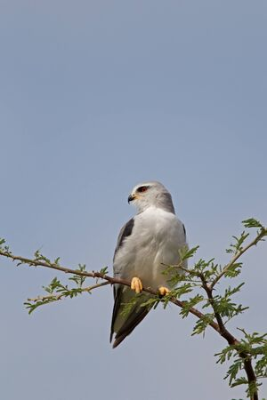 Black-shouldered Kite, Elanus caeruleus Stock Photo - 17606141