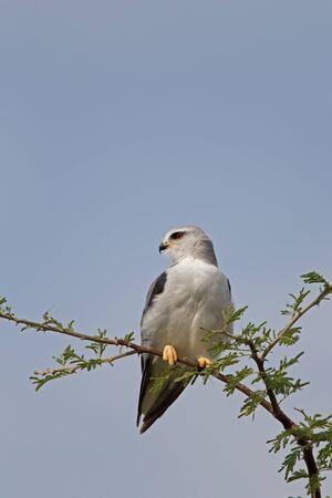 shouldered: Black-shouldered Kite, Elanus caeruleus Stock Photo