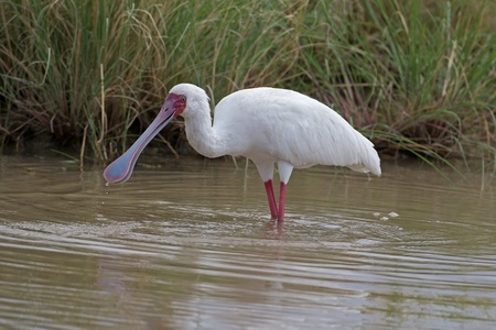 African Spoonbill wading in shallow water; Platalea alba Stock Photo - 17606142
