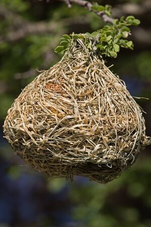weaver bird nest: Weaver bird nest