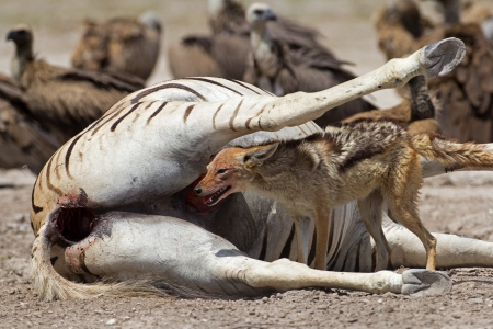 carcass: Black-backed jackal eating on carcass; Canis mesomelas