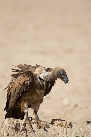 gyps: White-Backed vulture; Gyps africanus Stock Photo