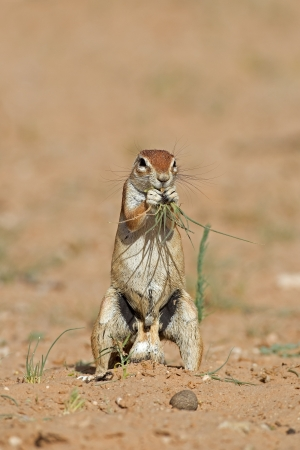Ground squirrel; xerus inaurus photo
