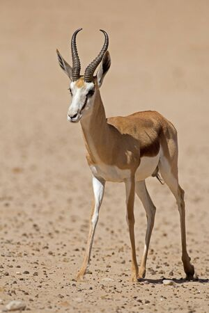 coulorful: Close-up of springbok walking in desert; Antidorcas marsupialis Stock Photo