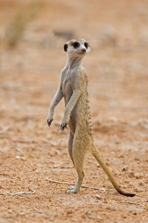 gaurd: Suricate or meerkat standing in Kalahari desert; Suricata suricatta