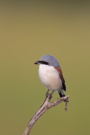 coulorful: Close-up of Red-backed shrike; Lanius collurio  Stock Photo