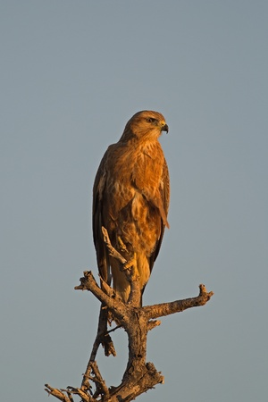 melierax:  Immature Southern Pale Chanting Goshawk perched in late afternoon sun; Melierax canorus Stock Photo