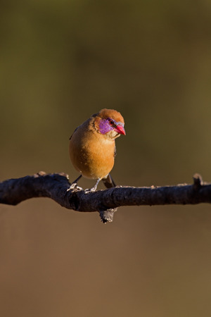coulorful: Female Violet-Eared Waxbill; Granatina granatina Stock Photo
