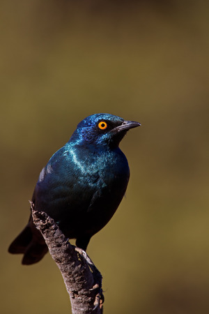 coulorful: Cape Glossy Starling; Lamprotornis nitens Stock Photo