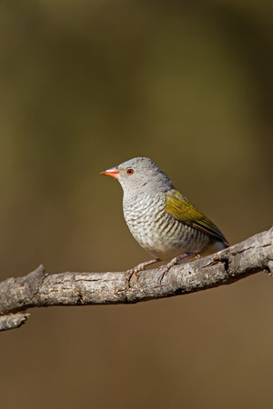 coulorful: Green-winged pytilia  Melba Finch ; Pytilia melba