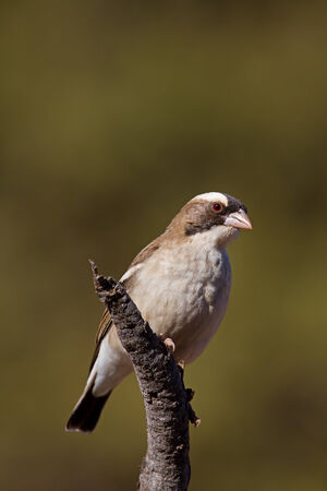 coulorful: White-browed Sparrow-weaver; Plocepasser mahali Stock Photo