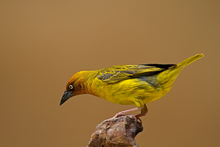 coulorful: Cape Weaver perched on rock; Ploceus capensis