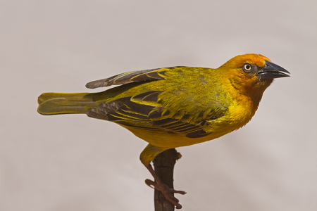 coulorful: Cape Weaver; Ploceus capensis