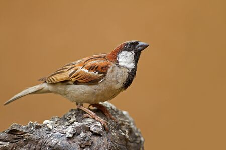 domesticus: Male House Sparrow perched on rock; Passer domesticus