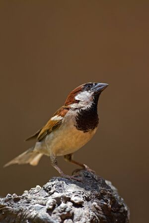 passer by: Male House Sparrow perched on rock; Passer domesticus