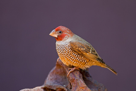 Red-Headed Finch perched on rock; Amadina erythrocephala