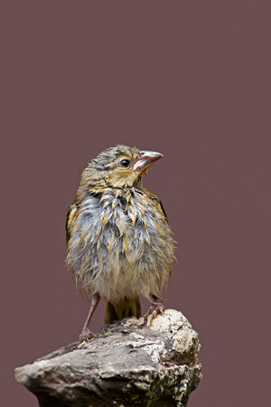 Wet Immature Southern Masked-Weaver; Ploceus velatus