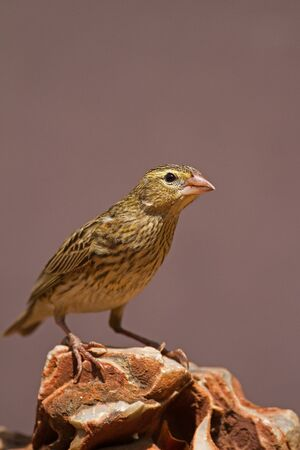 coulorful: Female Southern Red Bishop perched on rock; Euplectes orix