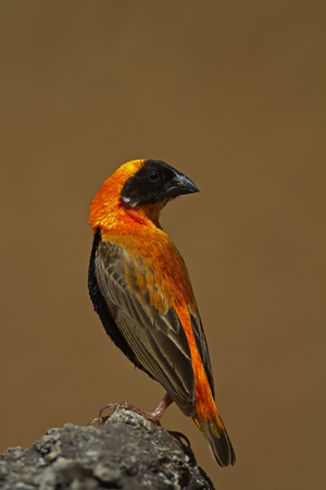 coulorful: Southern Red Bishop perched on rock; Euplectes orix Stock Photo