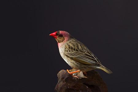 赤いくちばし Quelea、腰掛け岩Quelea quelea 写真素材 - 67006791