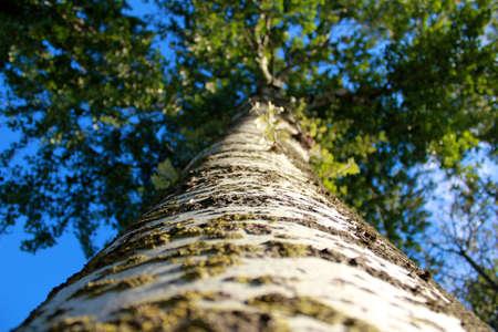 platano tree from bottom