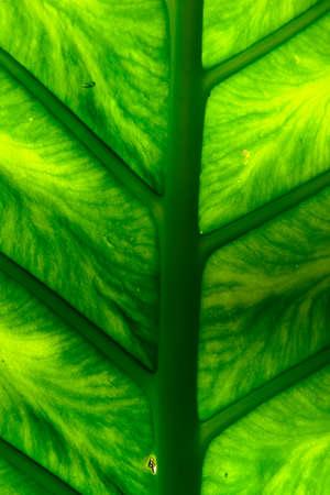 Philodendron giganteum Schott photo