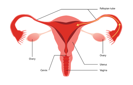 reproductive: Female Reproductive System Vector Diagram On white Background