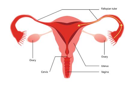 sistema reproductor femenino: Sistema reproductivo femenino Diagrama vectorial sobre fondo blanco