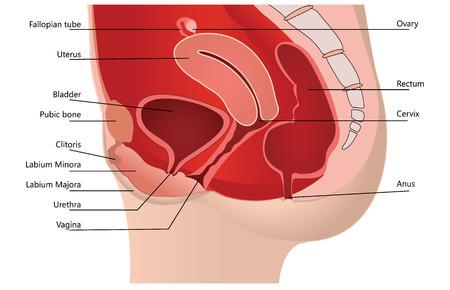 aparato reproductor: Sistema reproductivo femenino en la sección mediana en el fondo blanco