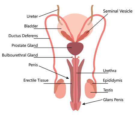 흰색 배경에 남성 생식 시스템 벡터 다이어그램
