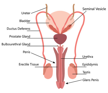 Male Reproductive System Vector Diagram On white Background Vectores