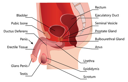 Sistema reprodutivo masculino na seção mediana sobre fundo branco