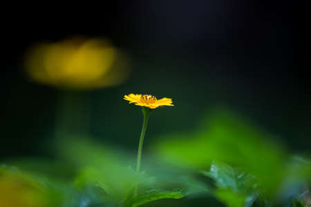 highlights: Blooming Wedelia, large aperture highlights the body, blurred background