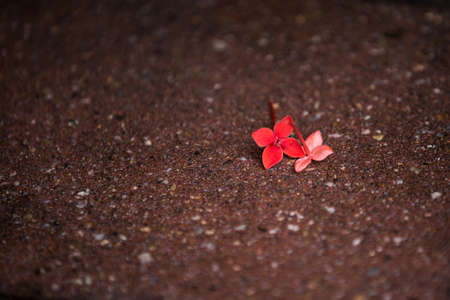 or shatter: after a heavey rain, some ixora on the ground Stock Photo