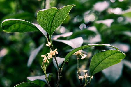nervure: osmanthus, little yellow flowers Stock Photo