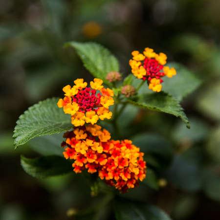 lantana camara: Lantana camara L Spring flowers