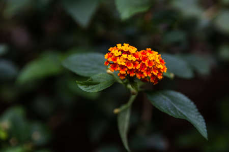 lantana camara: Lantana camara L. Spring flowers Stock Photo