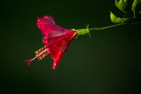 rosa: hibiscus, rosa, sinensis, Flower backlighting