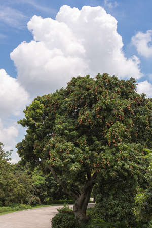 the fruitful: litchi tree