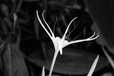 spider lily: Spider lily Stock Photo