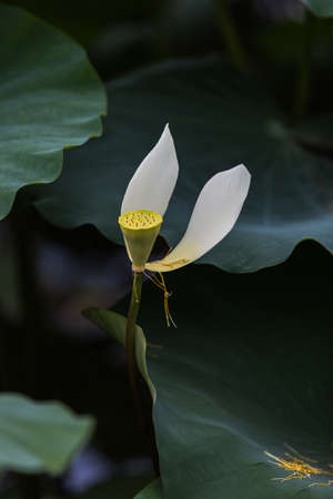 seedpod:  Lotus at Shenzhen honghu Park Stock Photo
