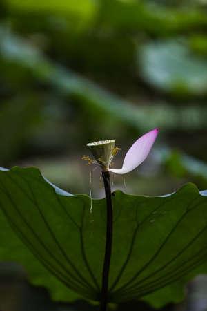 seedpod: lotus flower at Shenzhen honghu park