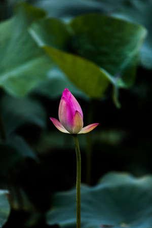 puberty: shenzhen honghu park, lotus flower, in early puberty