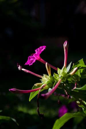 mirabilis: Blooming of Mirabilis Jalapa