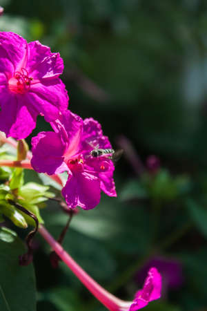 beancurd: Pink flower with bees Stock Photo