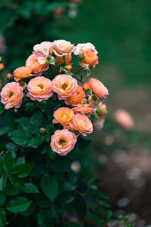 peacefulness: Rosa Chinensis Stock Photo