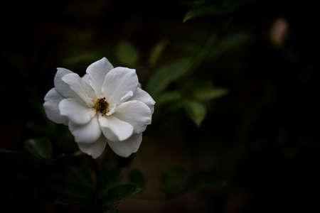 peacefulness: Rosa Chinensis Stock Photo