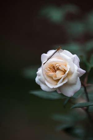 chinensis: Rosa Chinensis Stock Photo