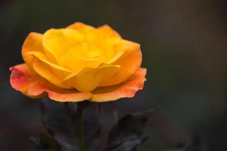 rosa: Rosa Chinensis Stock Photo